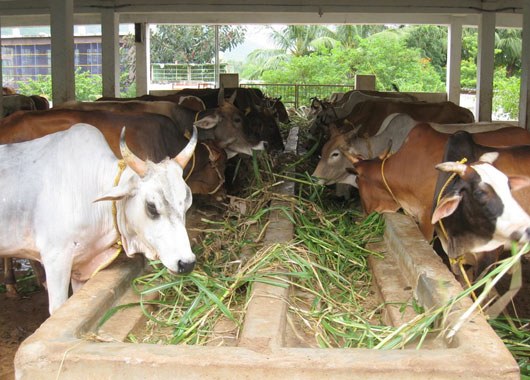 Plan for blanket ban on cow slaughter