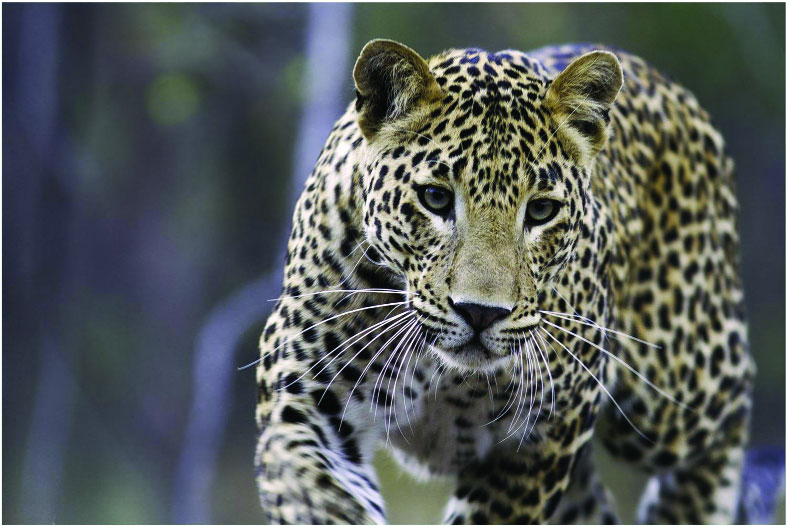 A peaceful living for the leopard