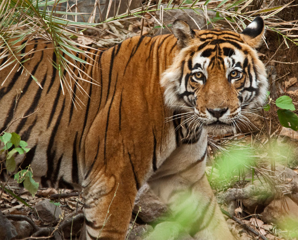 Should a man-eating tigress be tranquilized or shot dead