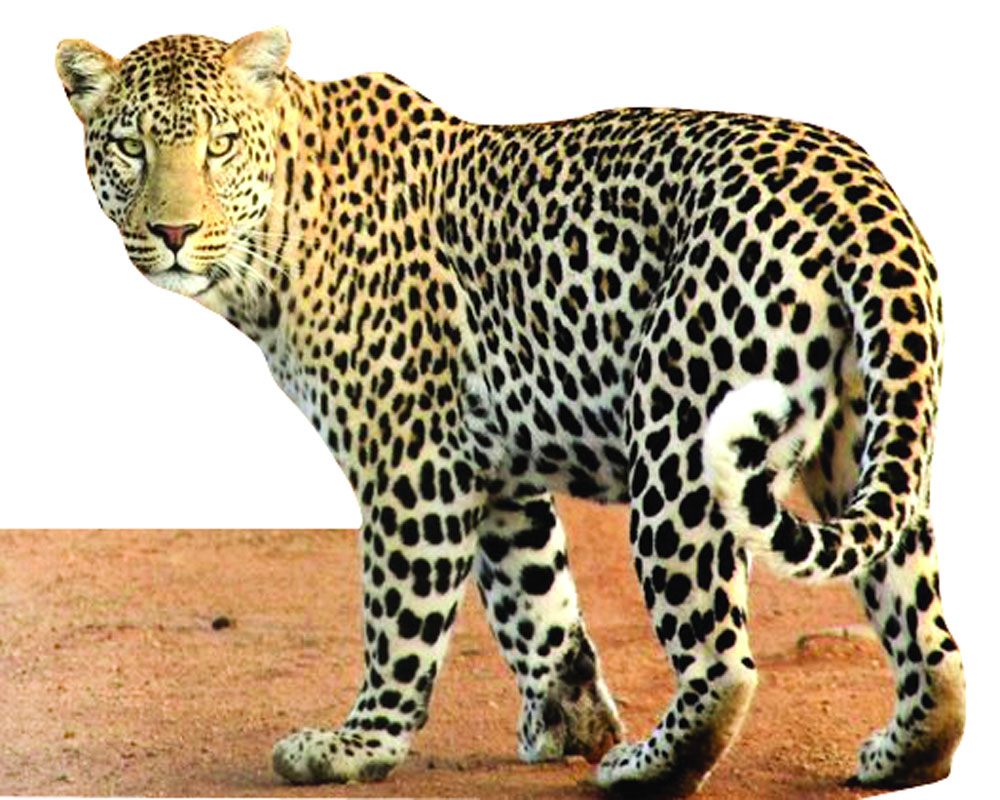 Shrinking habitats jeopardise leopards' survival