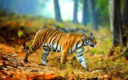 WII study to find if killer  virus can cripple tigers