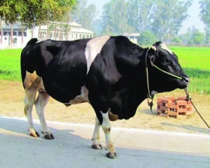 Army sells 16K imported cows at throwaway prices