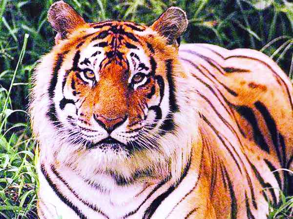 Another tiger crisis