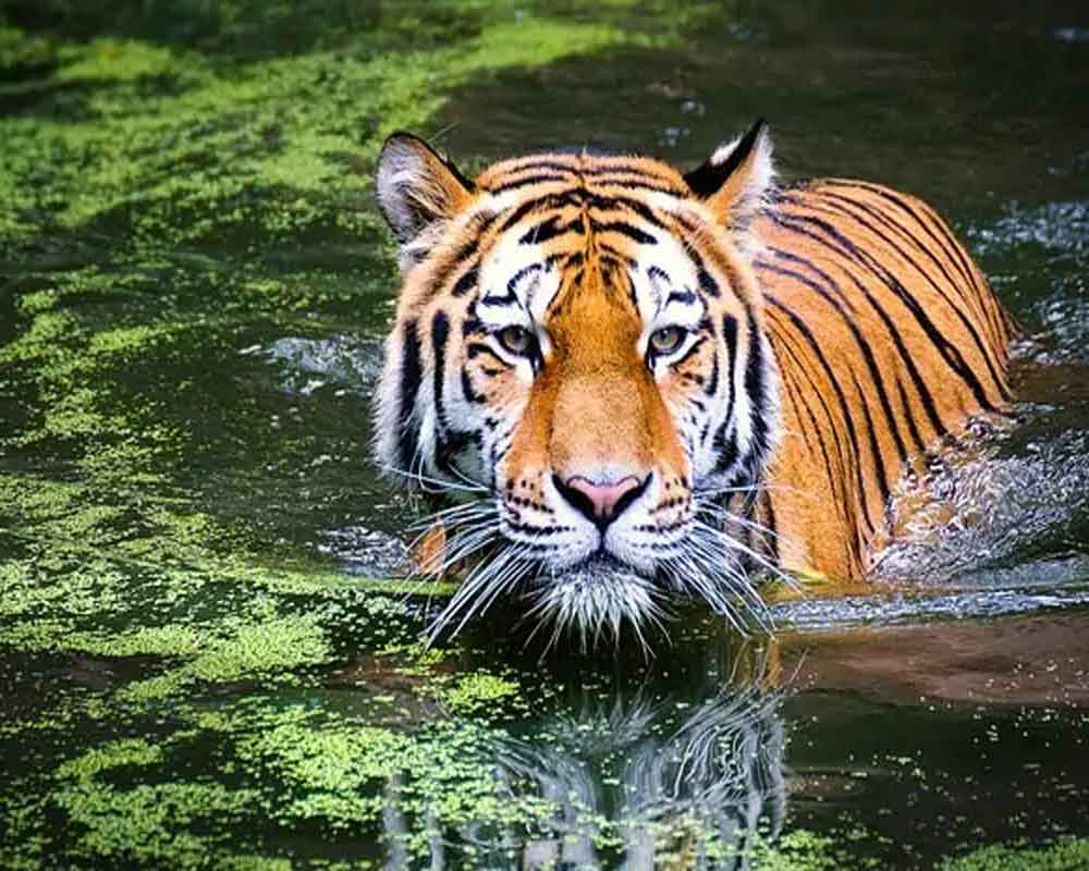 More than 2,300 tigers killed and trafficked this century: report