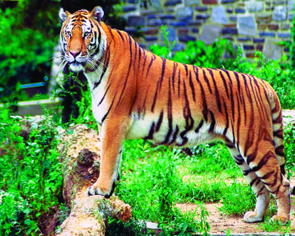 More tigers bring newer challenges