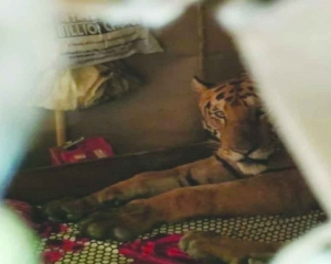 Flooded out, tiger finds 'home'