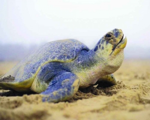 NHAI road project threatening olive ridley hits blind alley