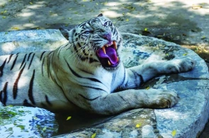 Tiger dies in Delhi soon after relief panel named