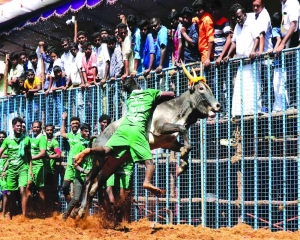 5 die still Jallikattu all the rage in TN