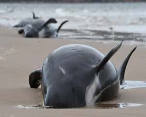 70 whales rescued from Australia's worst mass beaching