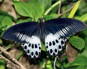 77 new butterfly species found in Matheran: BNHS