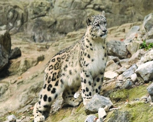 India vows to save Himalayan abode of snow leopards