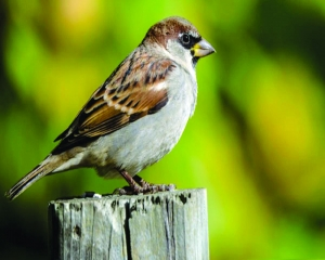Cumulative efforts must to save sparrow from extinction