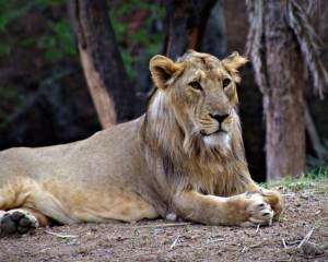 Lions in Hyderabad zoo test COVID-19 positive; samples examined by CCMB