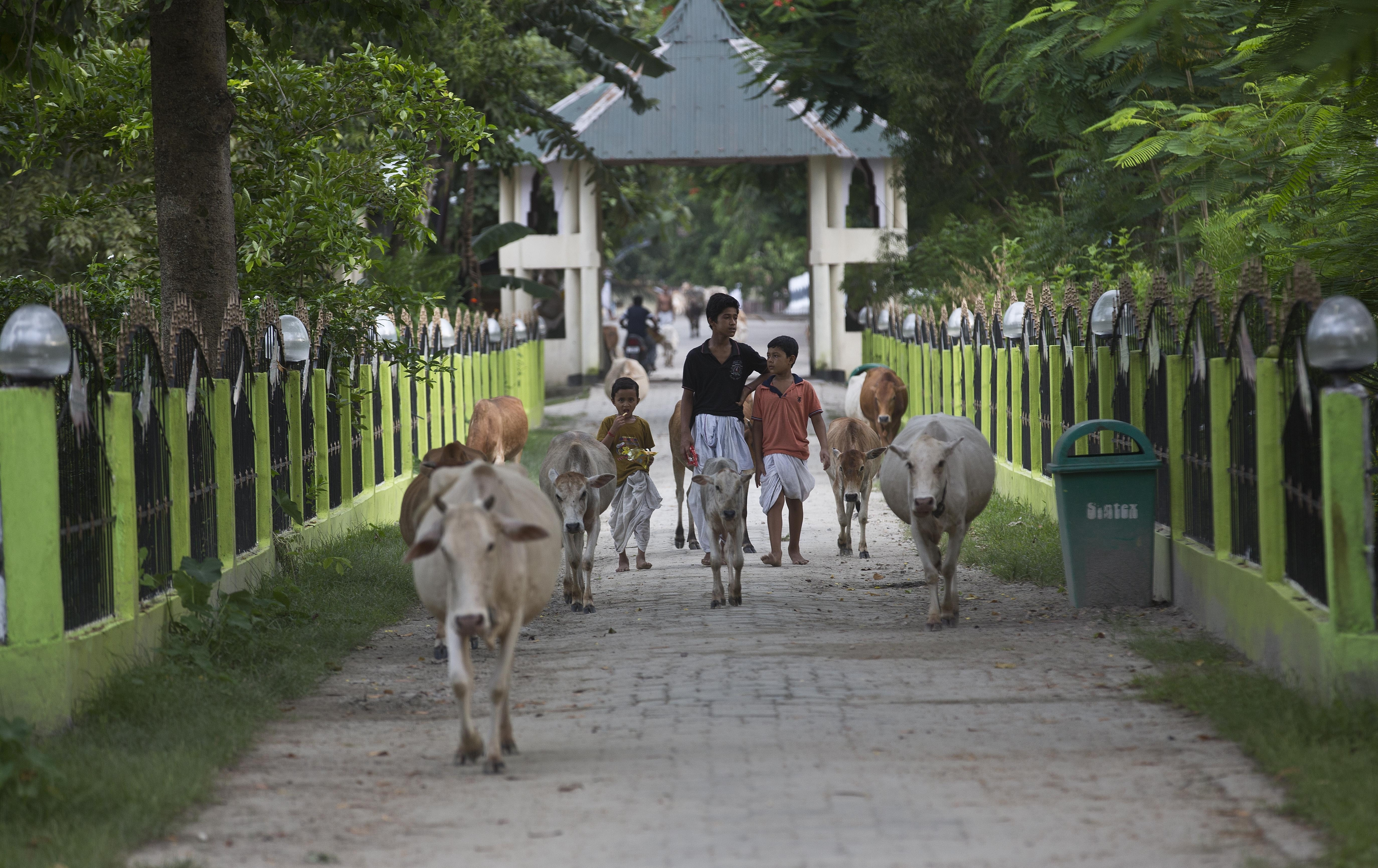 Young Hindu monks lead cattle at a Satra, or Vaishnavite monastery, in Majuli - AP