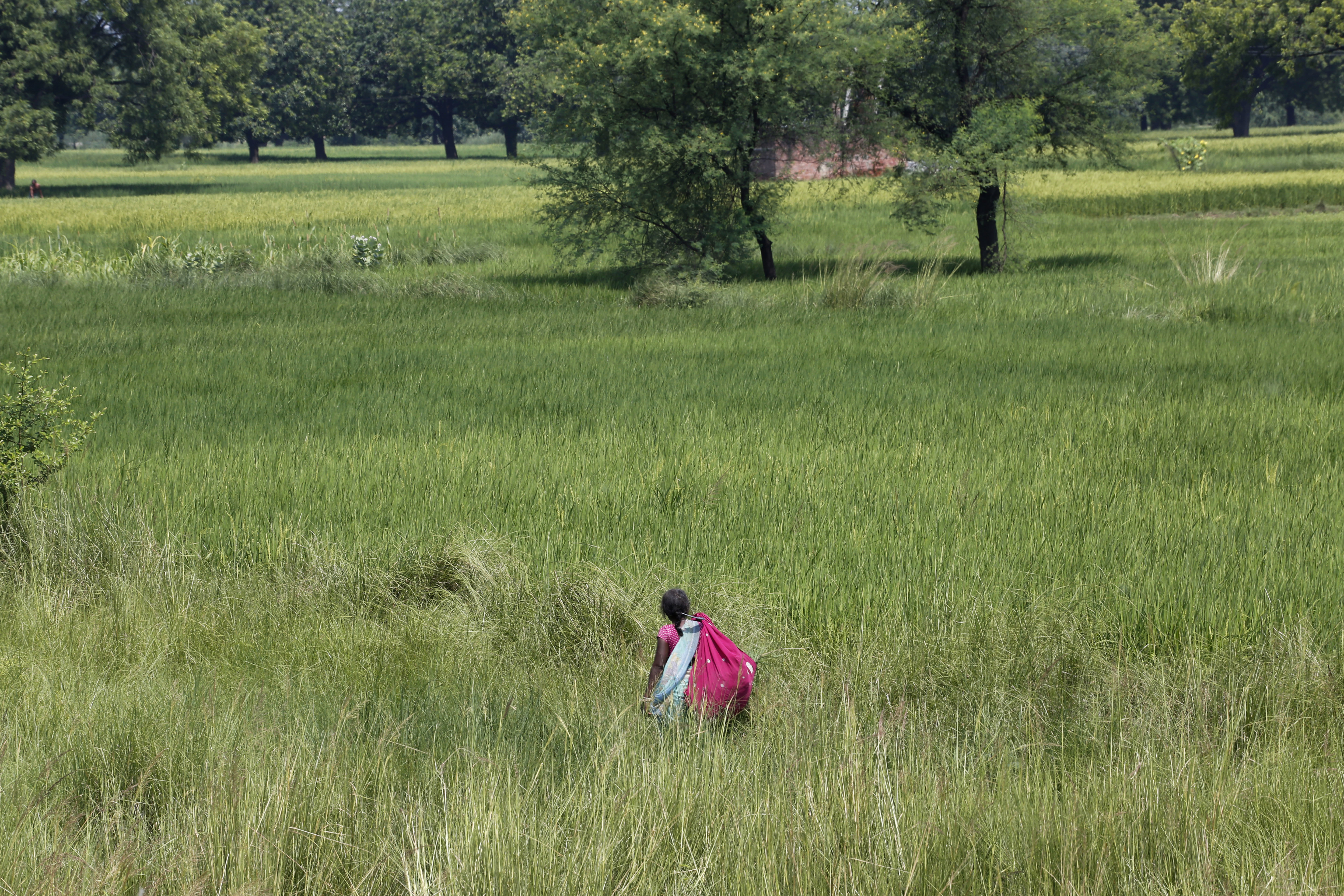An Indian woman works at a paddy field on the outskirts of Allahabad - AP