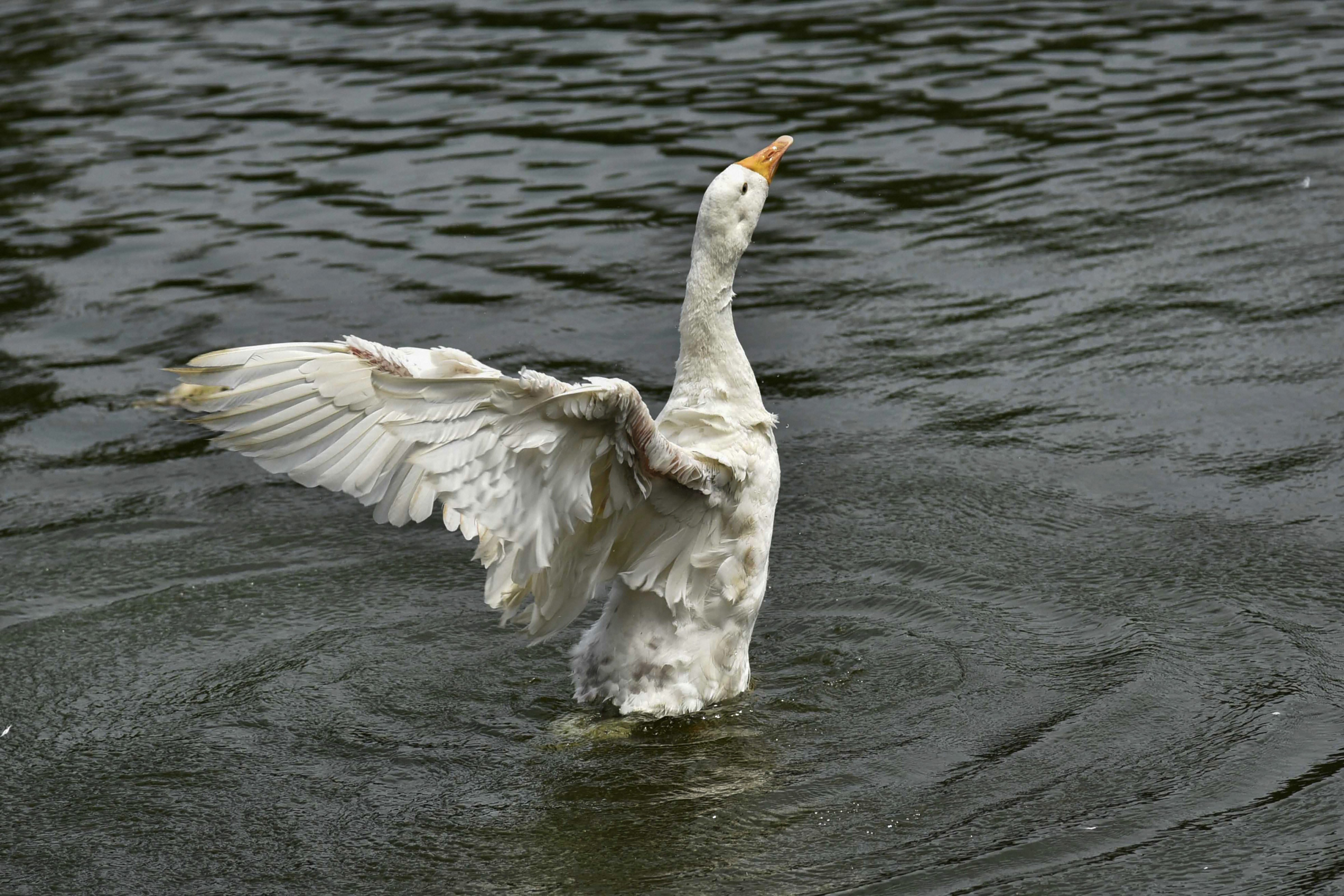 A duck flutters its wings at Jurpukhuri pond in Guwahati - PTI