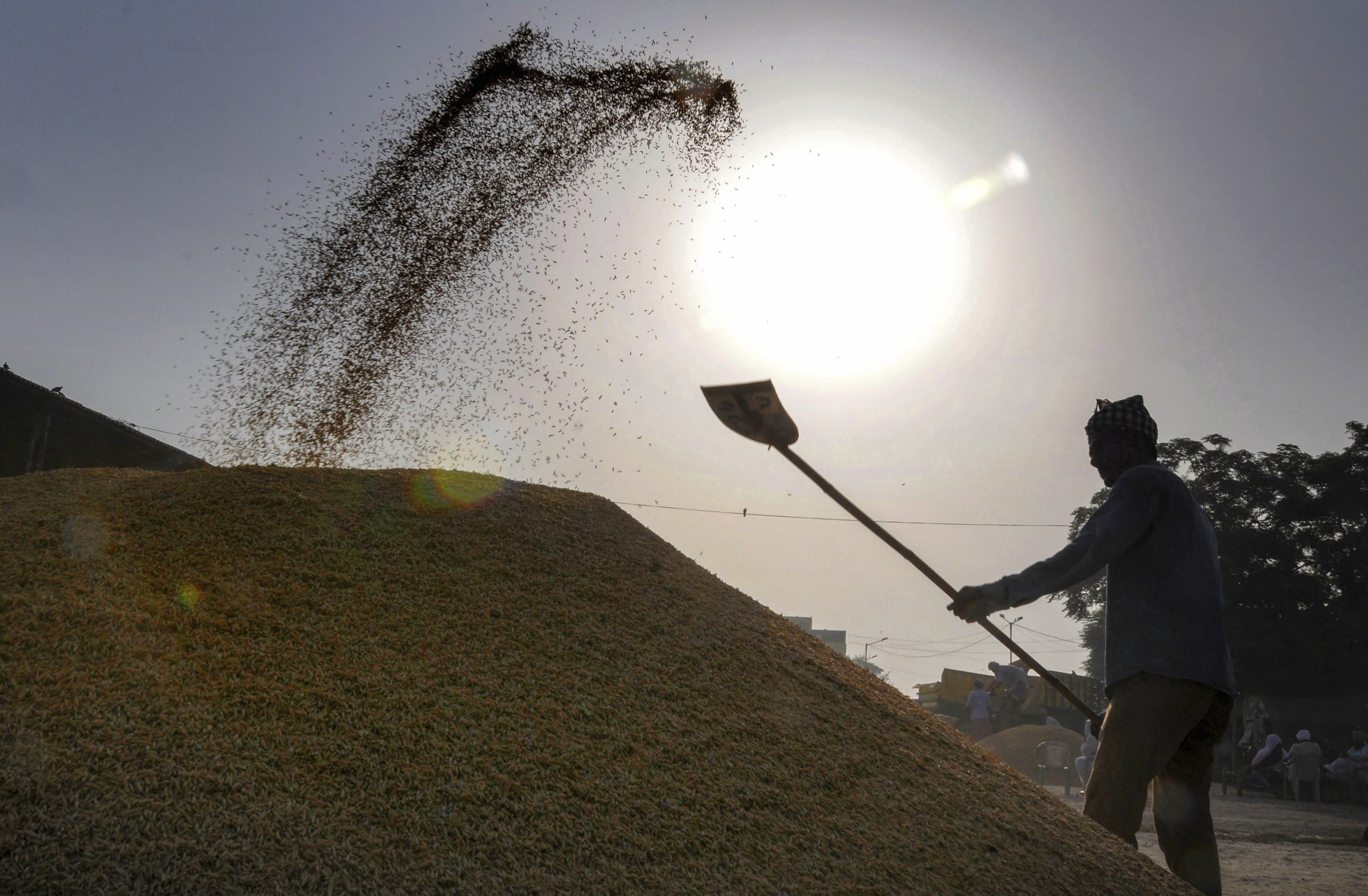 A worker piles up paddy grains at a grain market in Amritsar - PTI