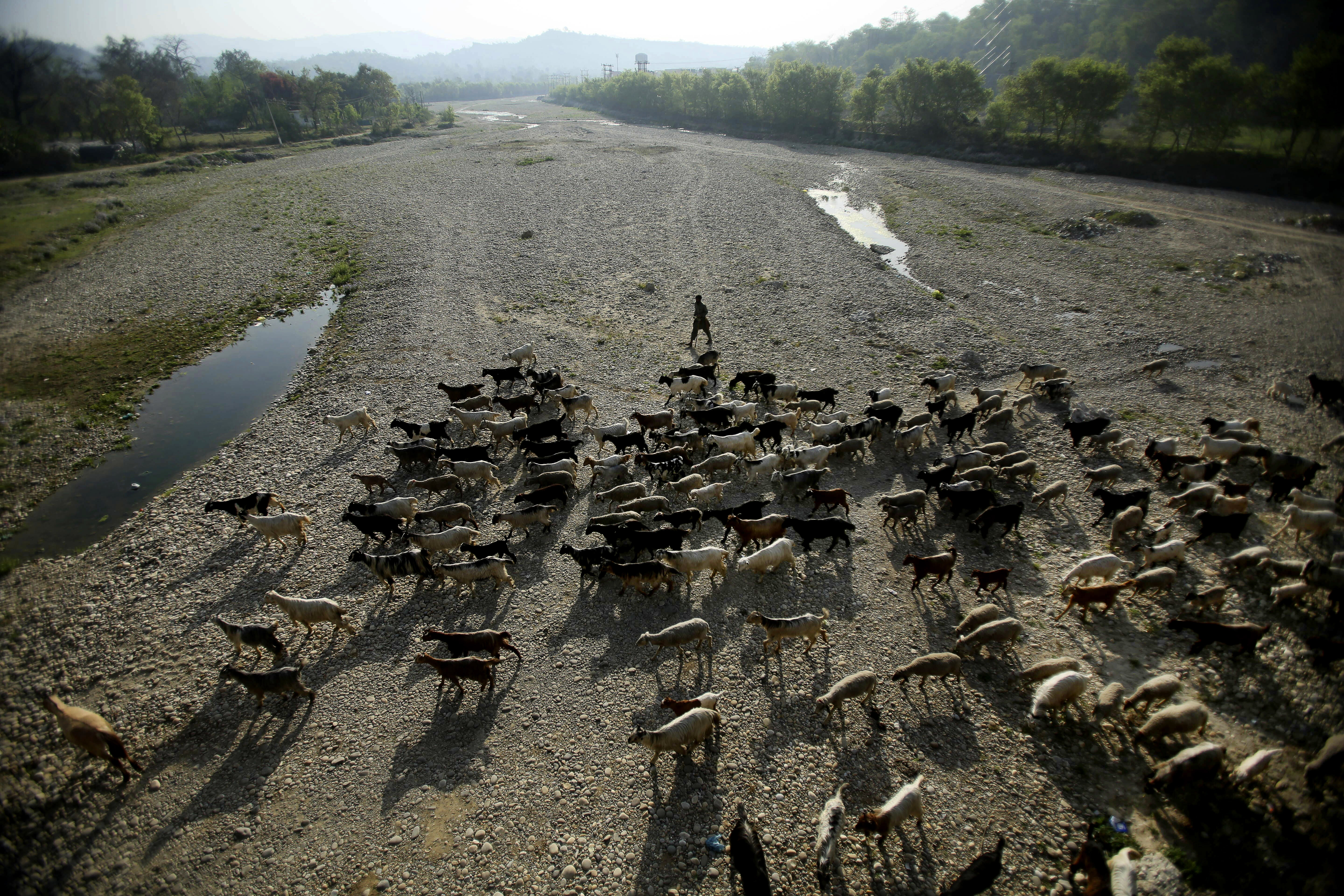 A nomadic Gujjar tribe leads his herd of goats through a dried river bed near the Jammu-Srinagar highway, on the outskirts of Jammu, India - AP