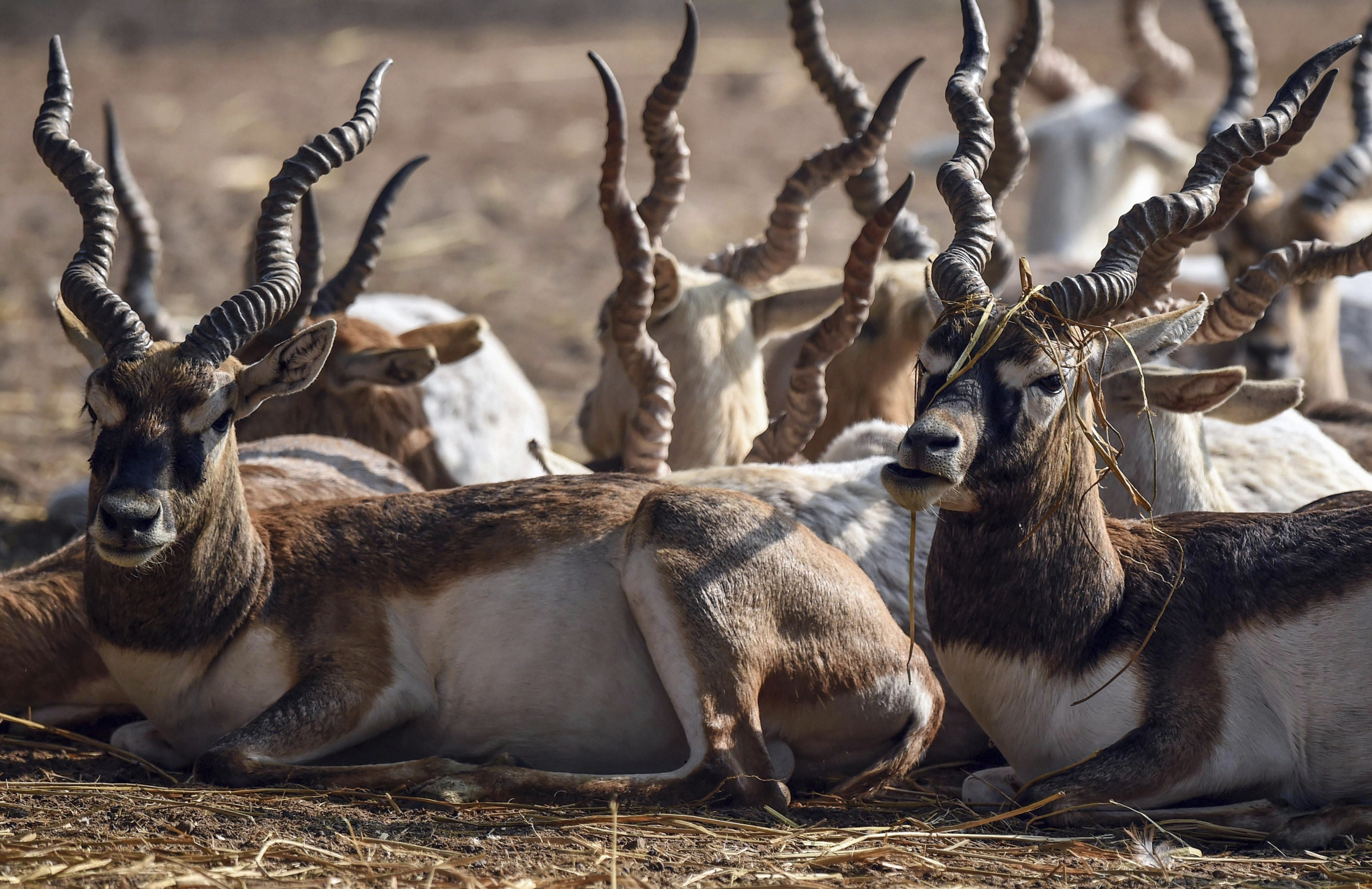 A group of blackbuck seen inside Delhi Zoo in New Delhi - PTI