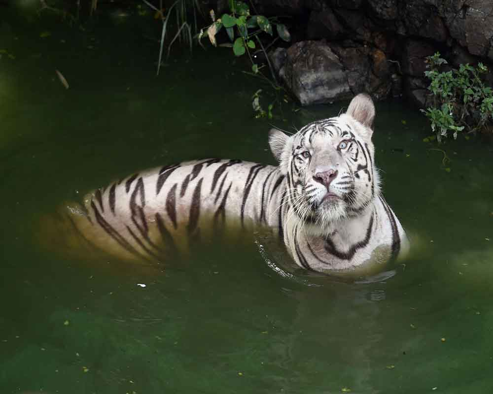 A white tiger cools off  in a pond following the increase in temperature at the Arignar Anna Zoological Park in Vandalur near Chennai - PTI