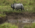 Today's Photo : Rhinoceros grazes at Kaziranga National park