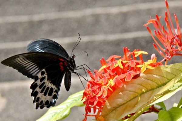 Today's Photo: A Swallowtail Butterfly perches on a Flower